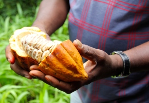 The beans within the cocoa pod which we had the opportunity to taste