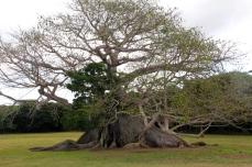 300 year old Ceiba tree -- The Tree of Life